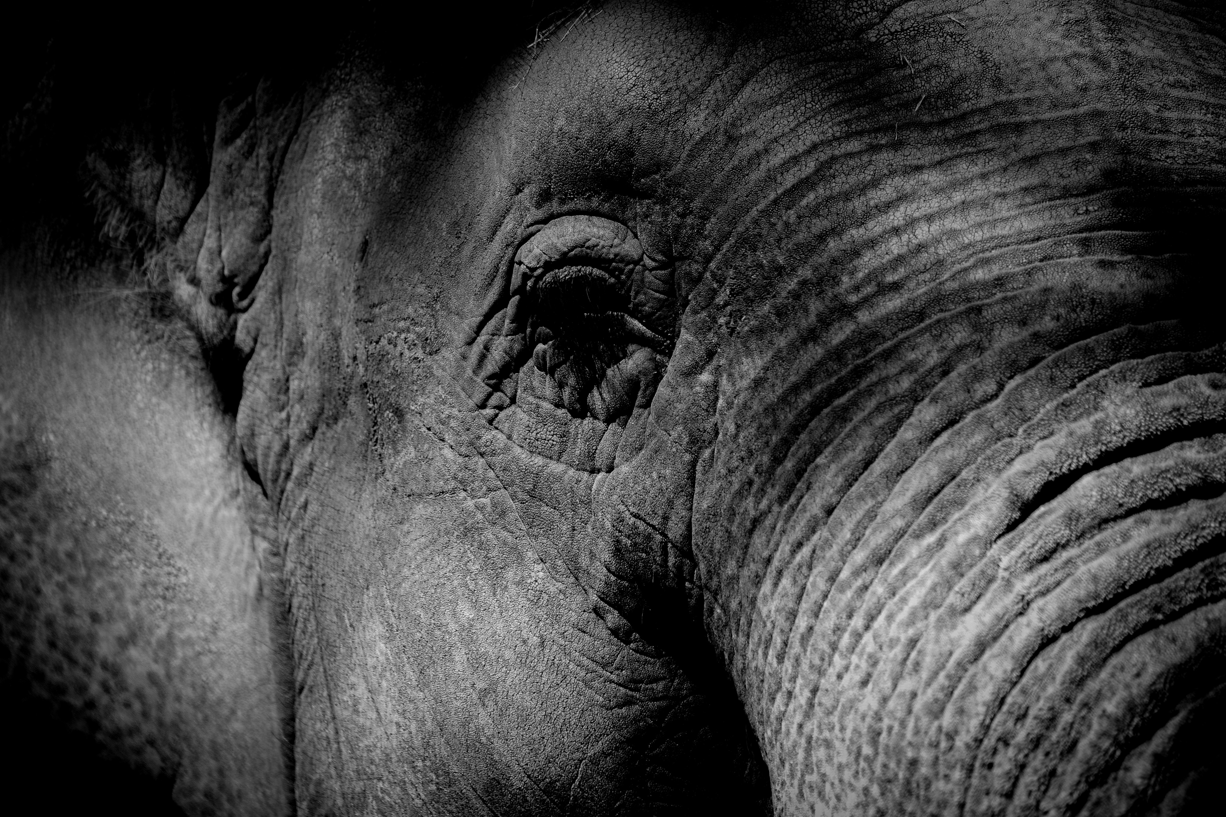 Black-and-white photograph closeup of an elephant's face.