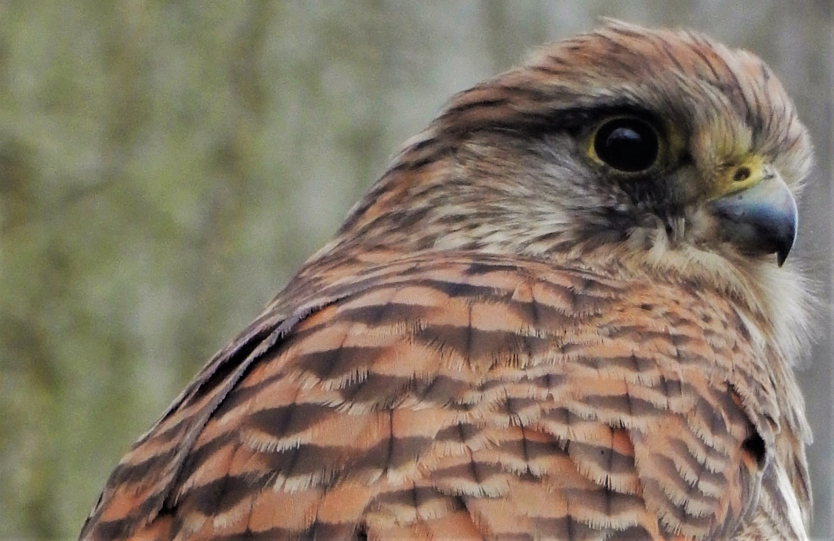 Head and back of a kestrel with striped feathers and hooked beak