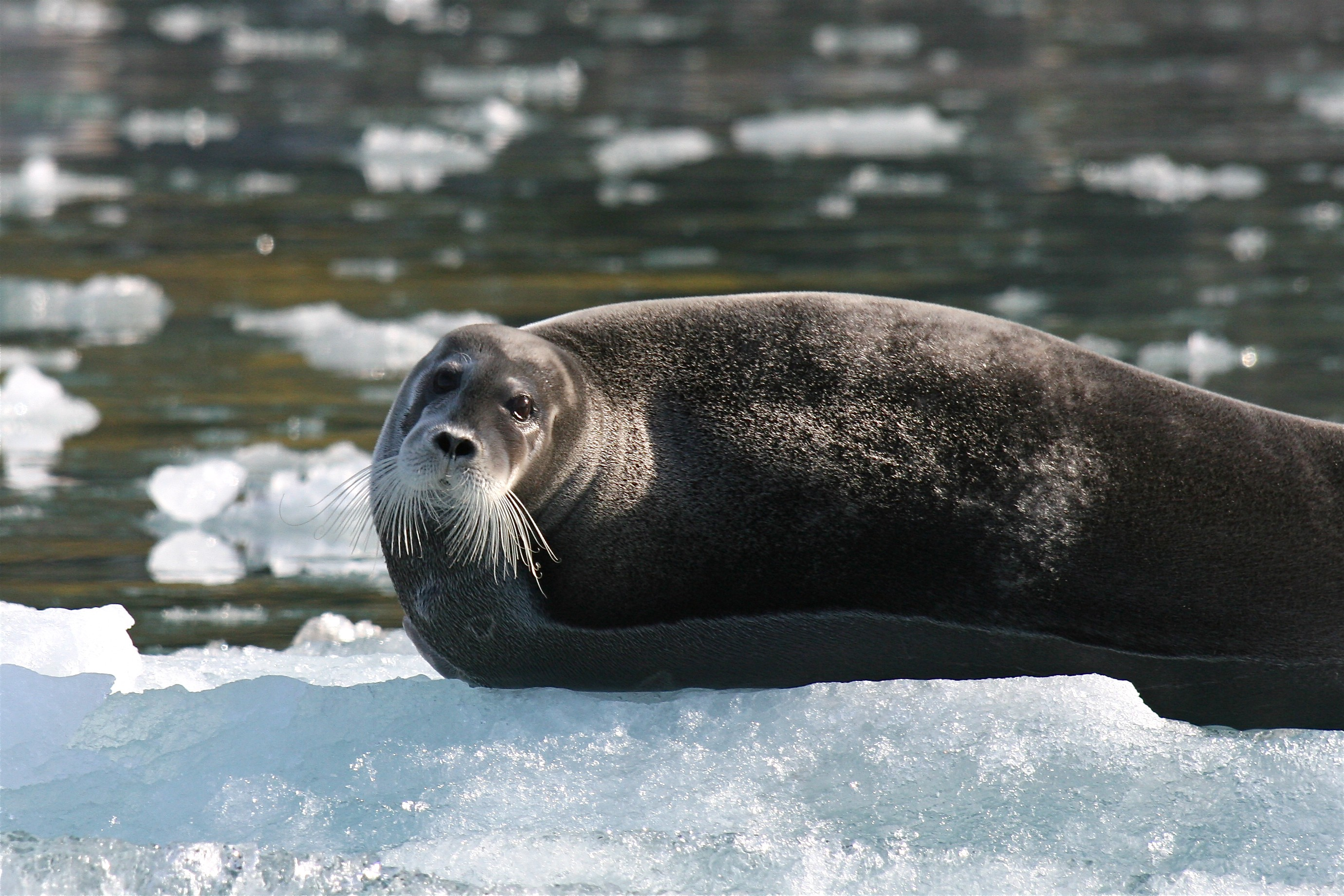 Close up of a plump brown seal with whiskers, hauled out on ice.