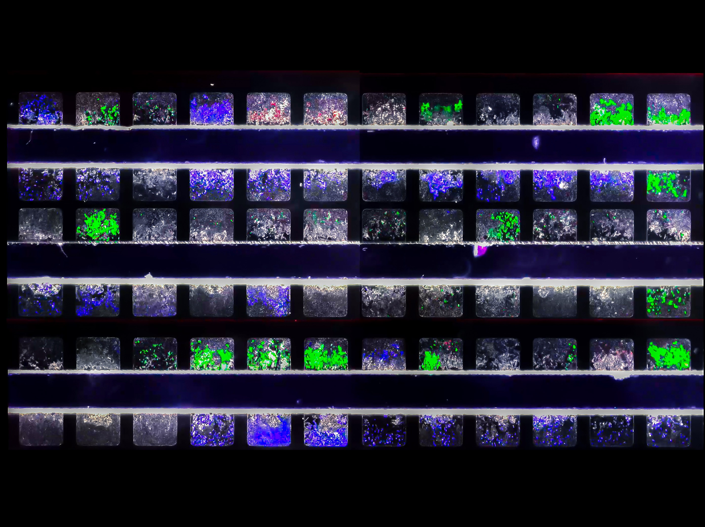 This is a still image pulled from UC San Diego video from three-strain co-culture experiments of E. coli.