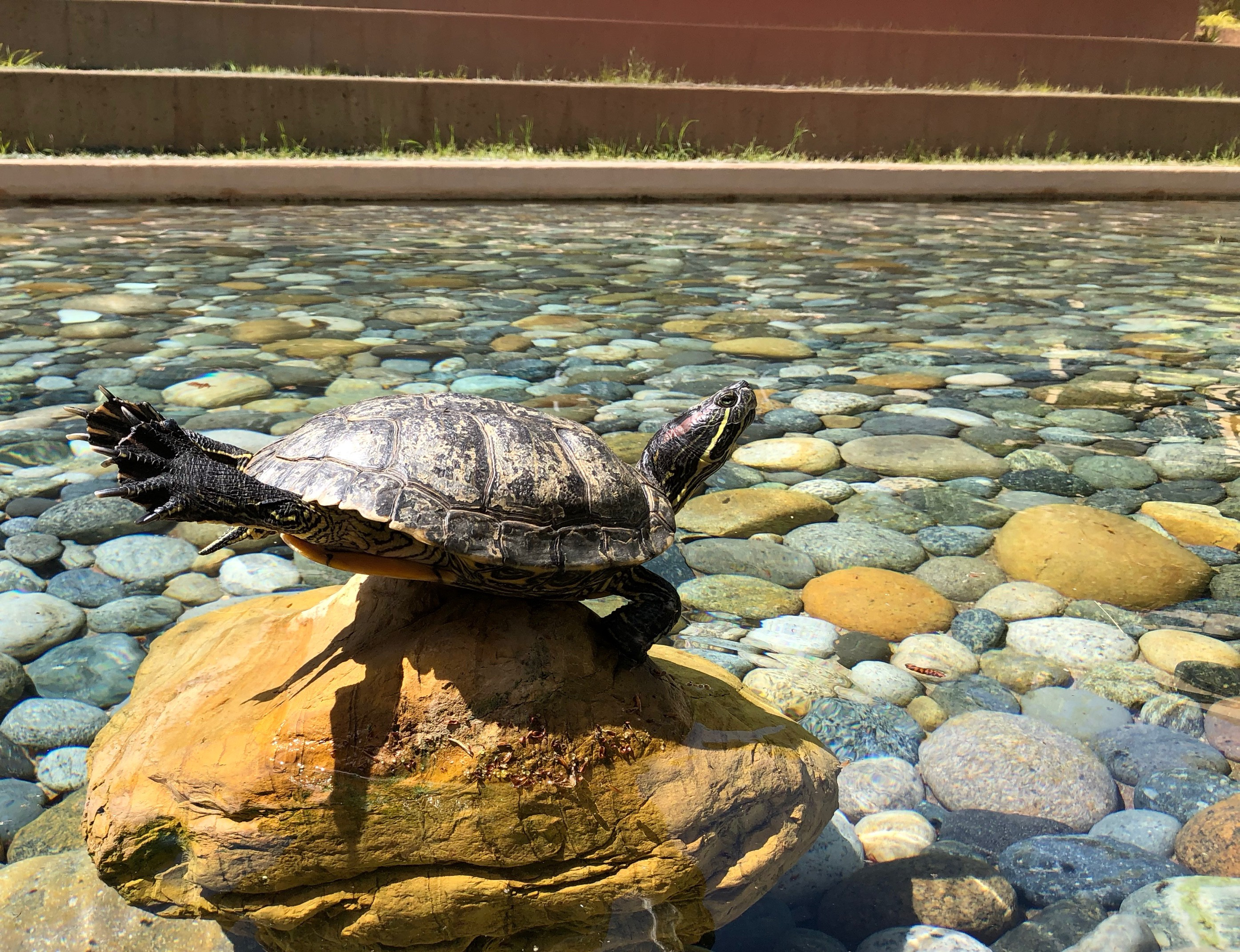 A turtle stretching its legs under the sun at VMware's turtle pond