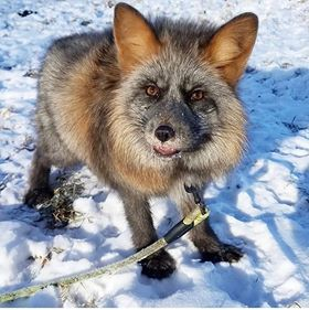 The Fox Who Was Saved Because He Was Different - Tenderly