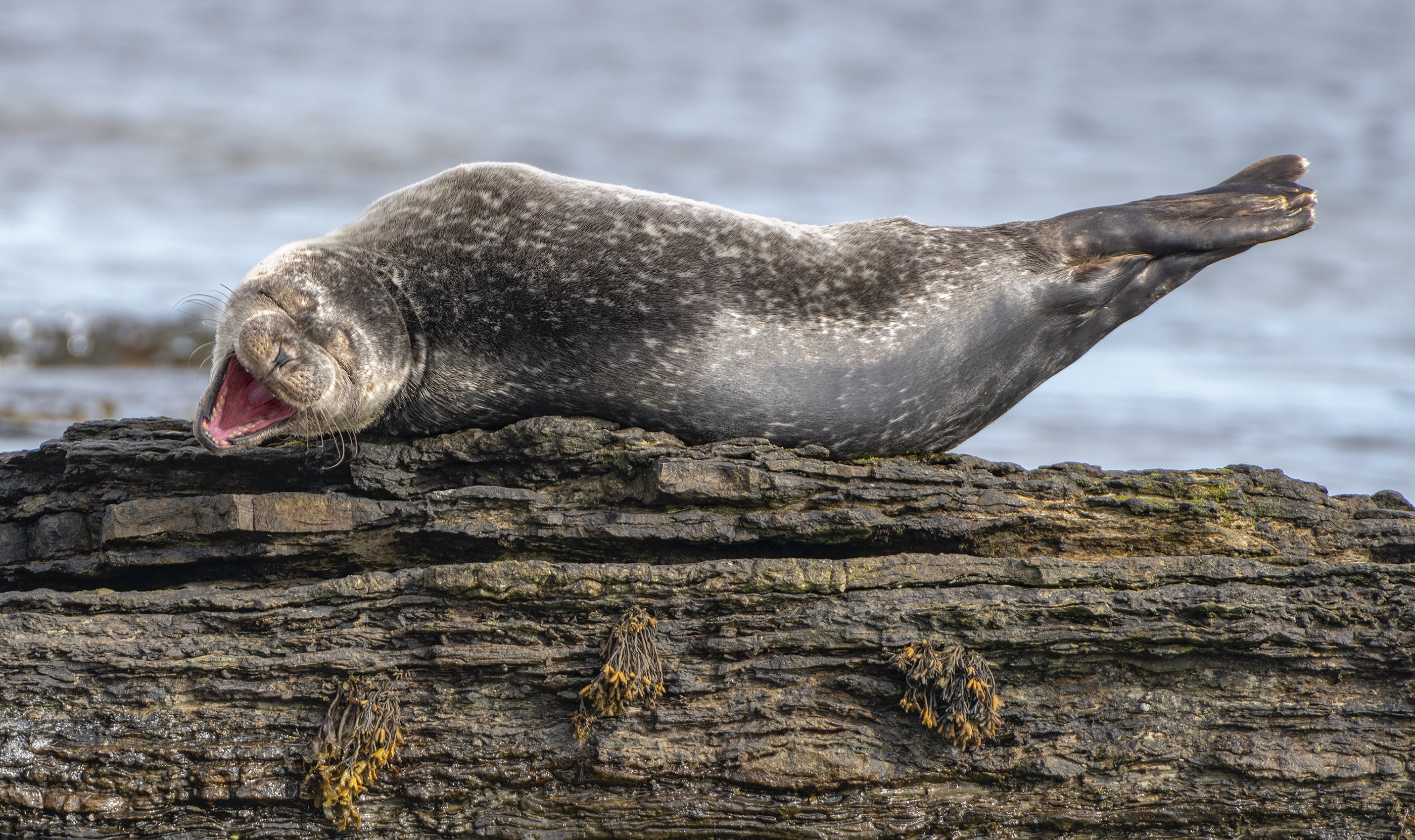 An outstretched seal with a jaunty tail in the air has her mouth wide open and eyes crinkled shut like a big laugh