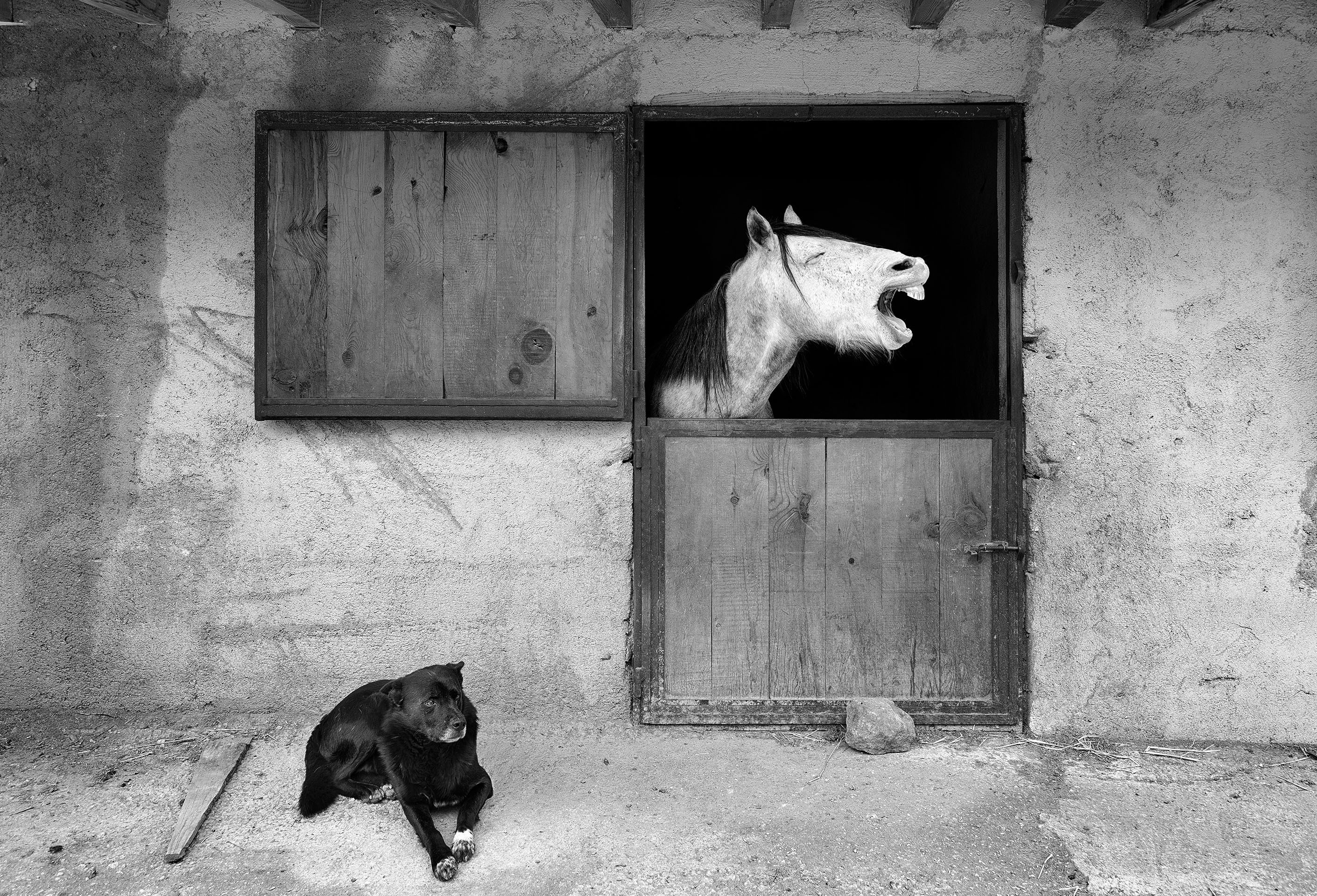 An older black dog and a white horse appear chilling out together, in black and white, the horse baring teeth in a big yawn