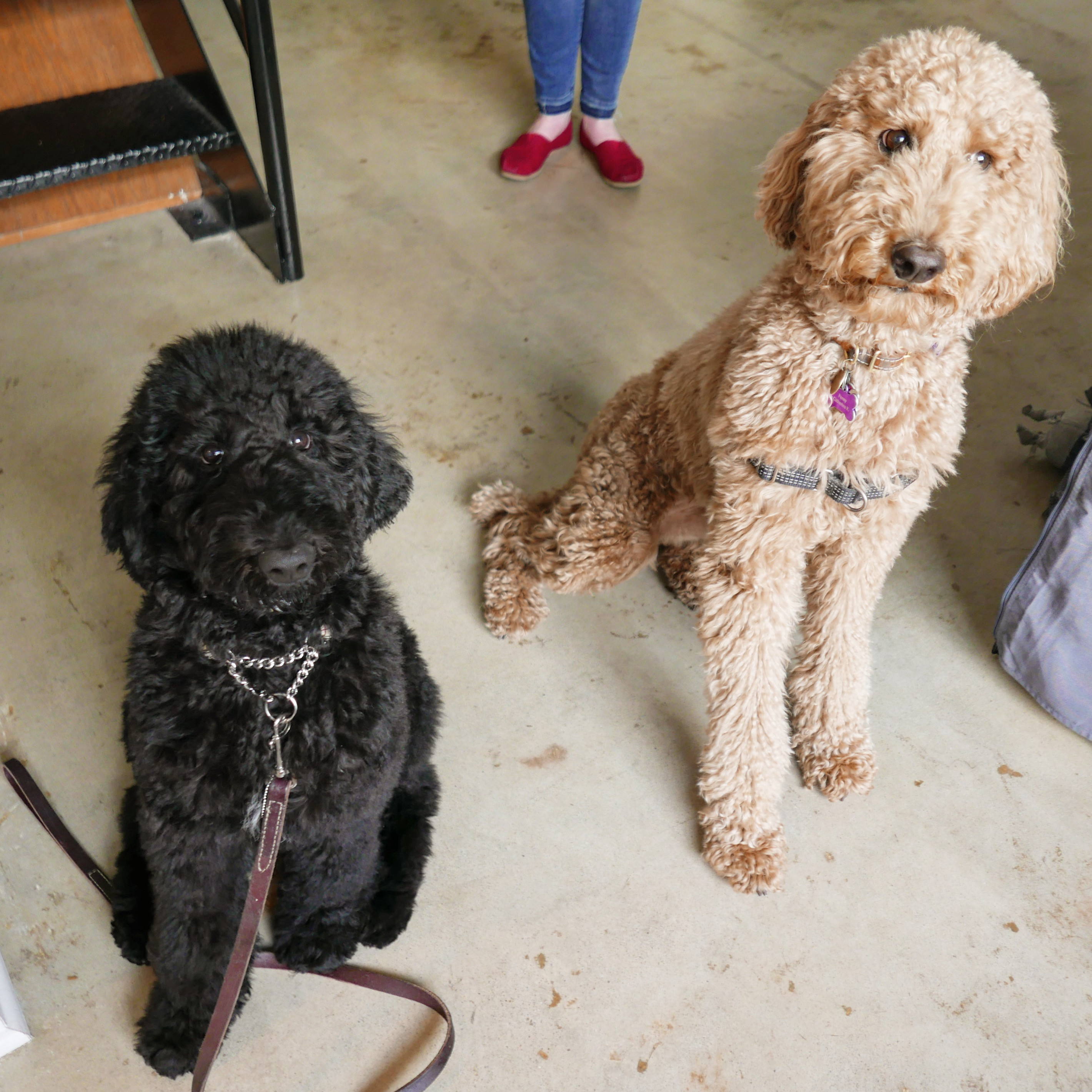 All You Ever Wanted To Know About Poodles Samantha Weald