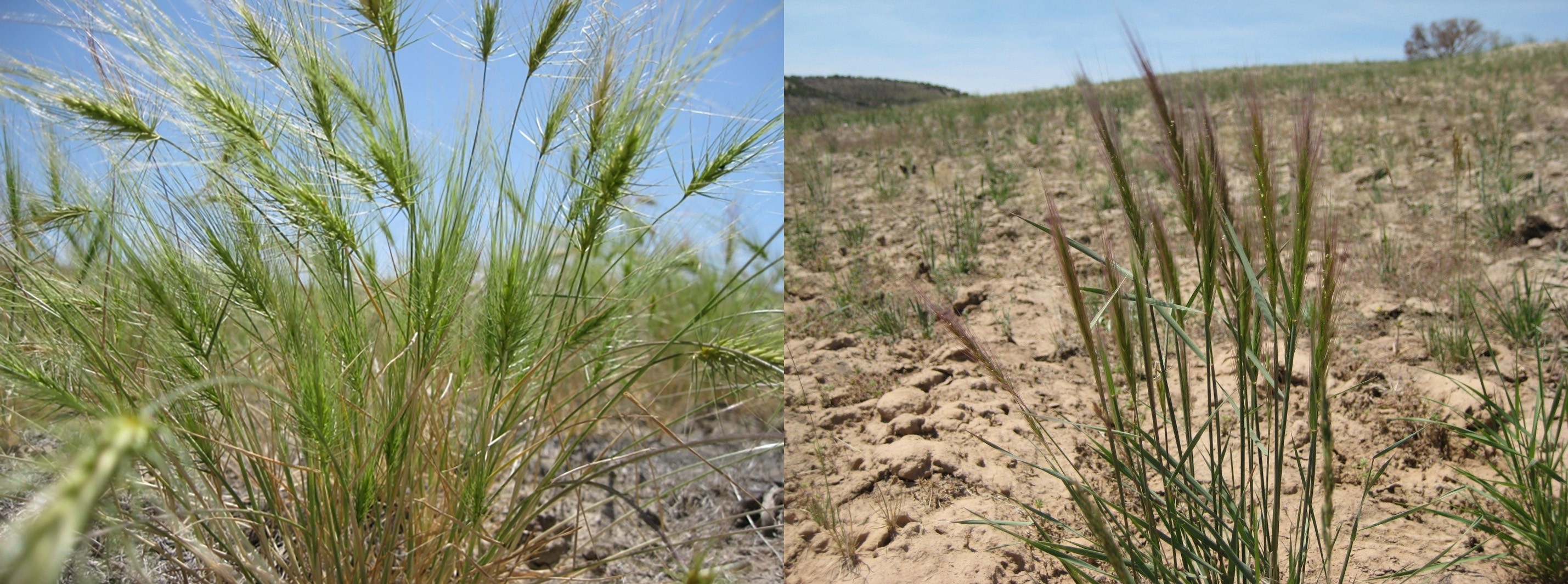 Side-by-side comparison of two green bunch grasses that look similar appearance.