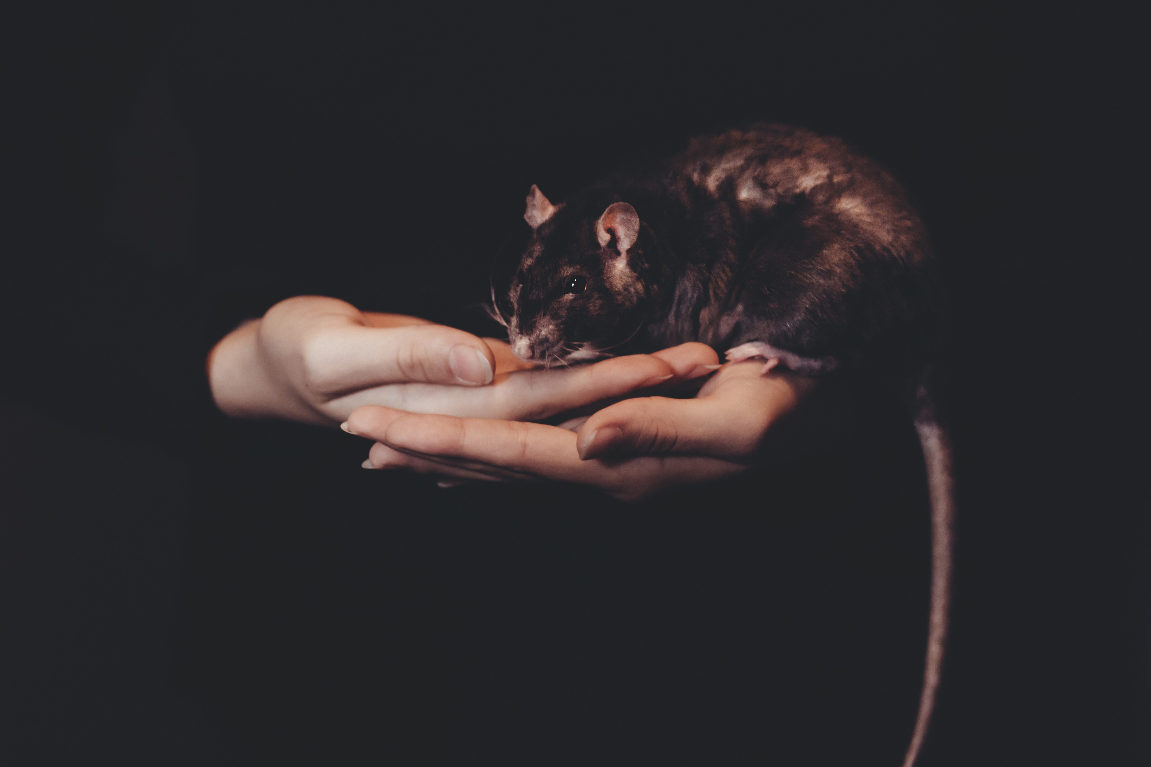 A pair of hands holding a brown rat against a black background.