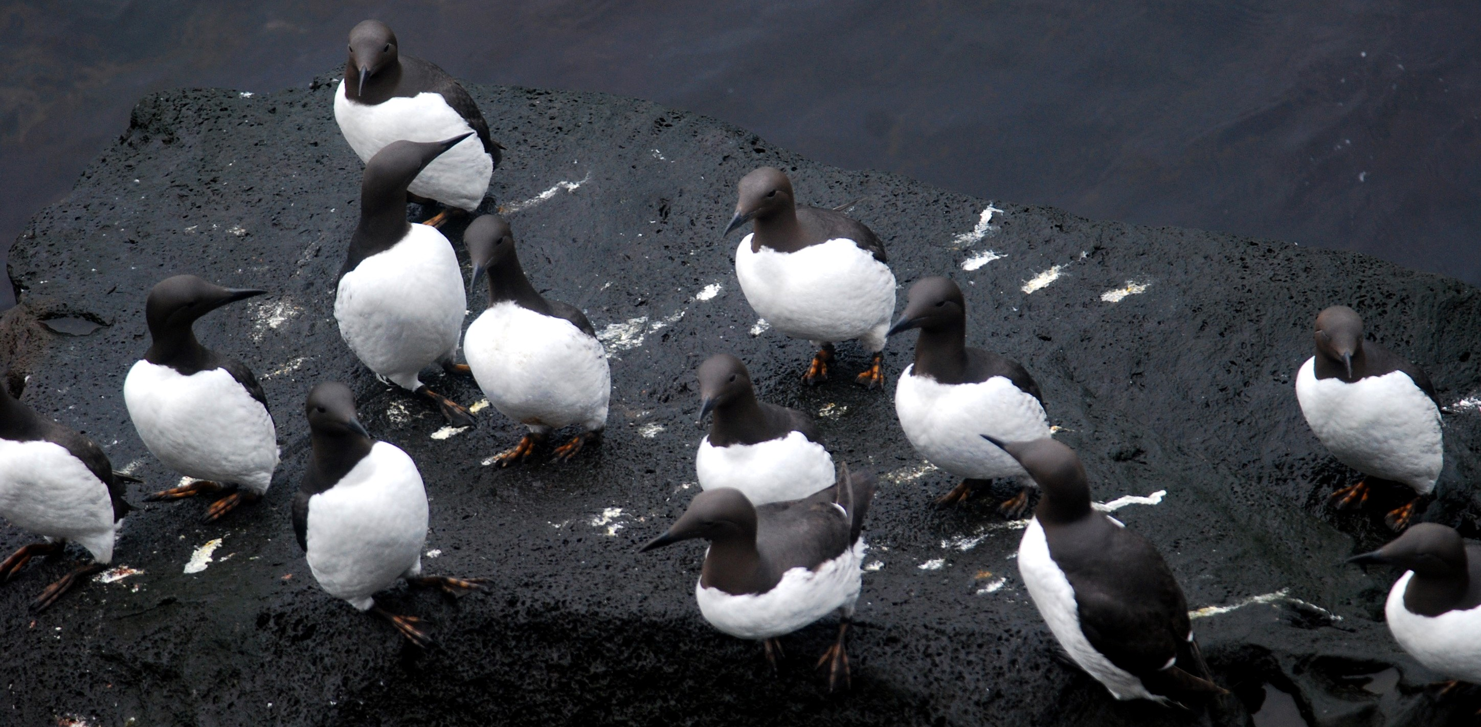 common murres on rocks, Alaska