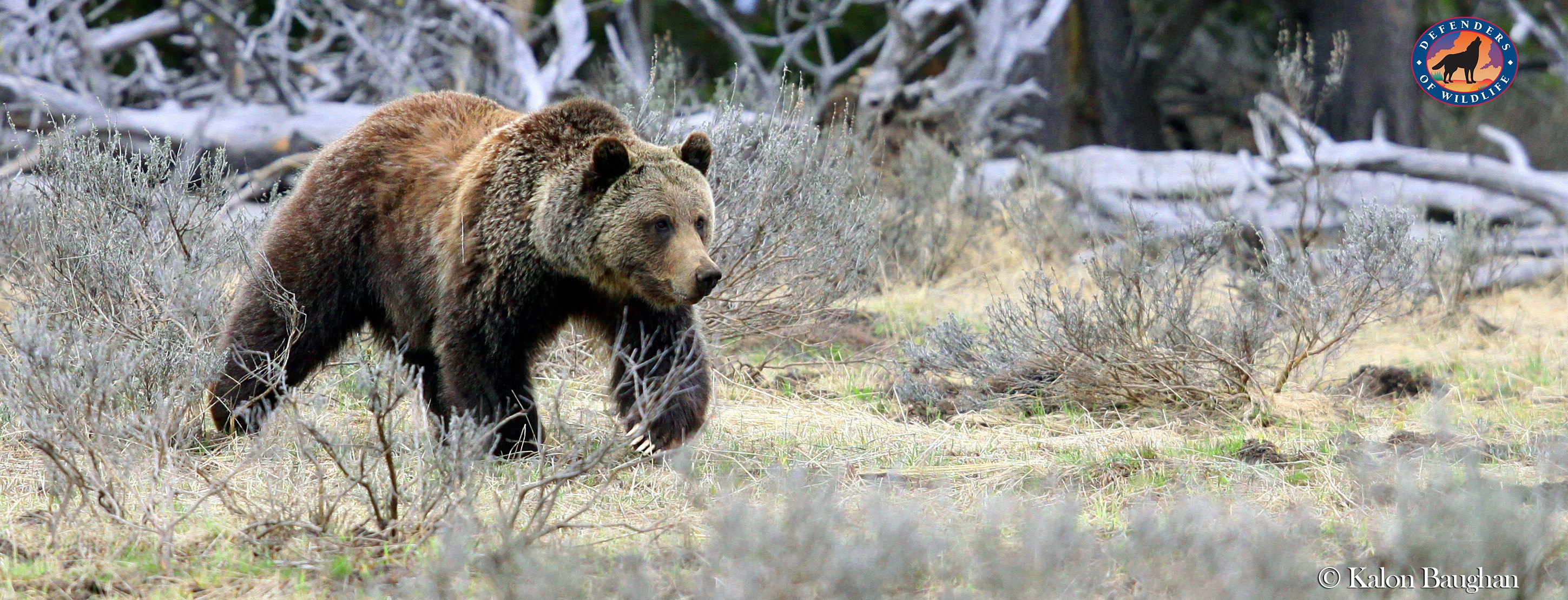 Grizzly Bears Face Changing Management - Wild Without End