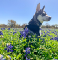 Four-month old Husky dog sitting and looking beautiful in a field of bluebonnets