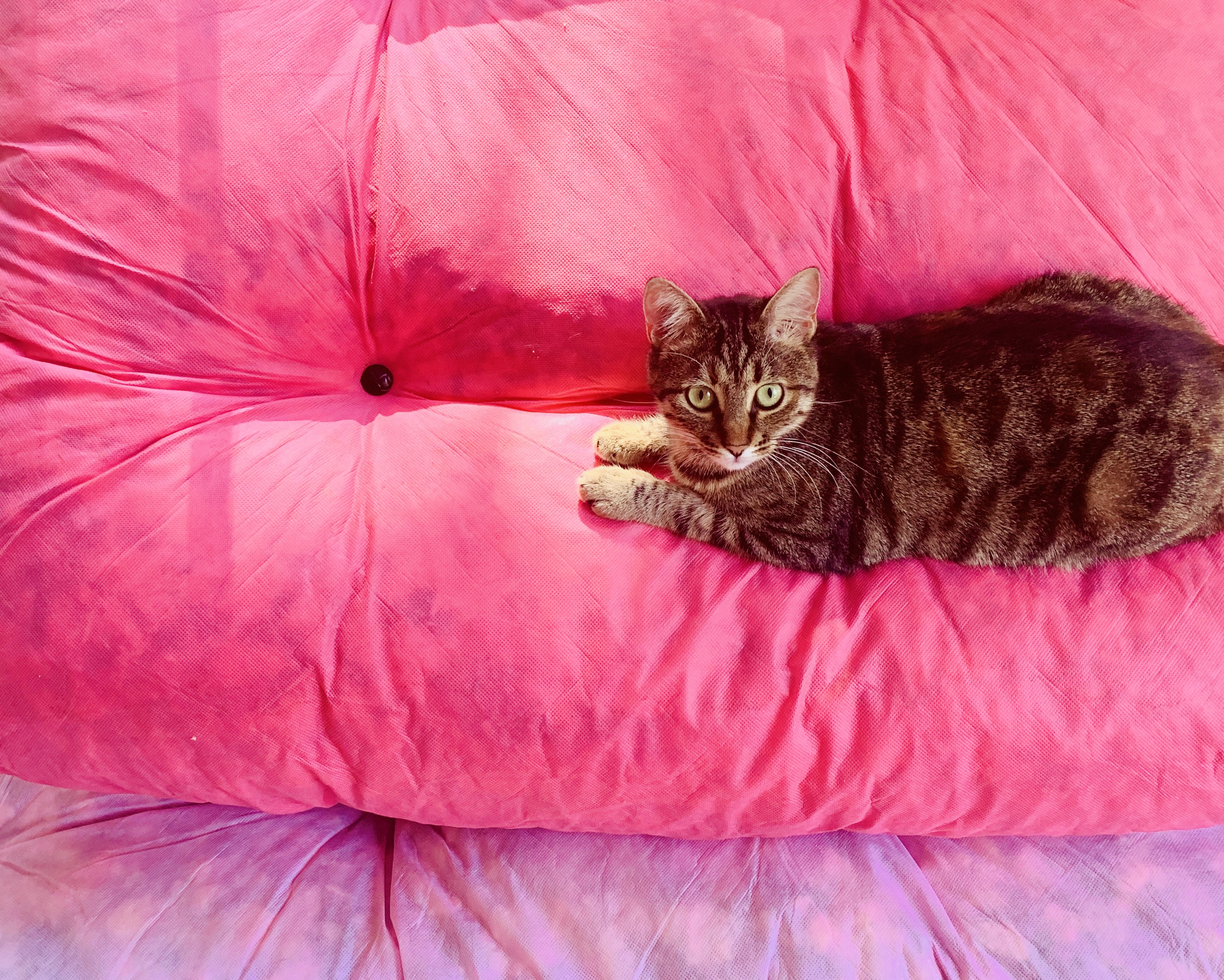 Cat laying down doing nothing on large pink pillows