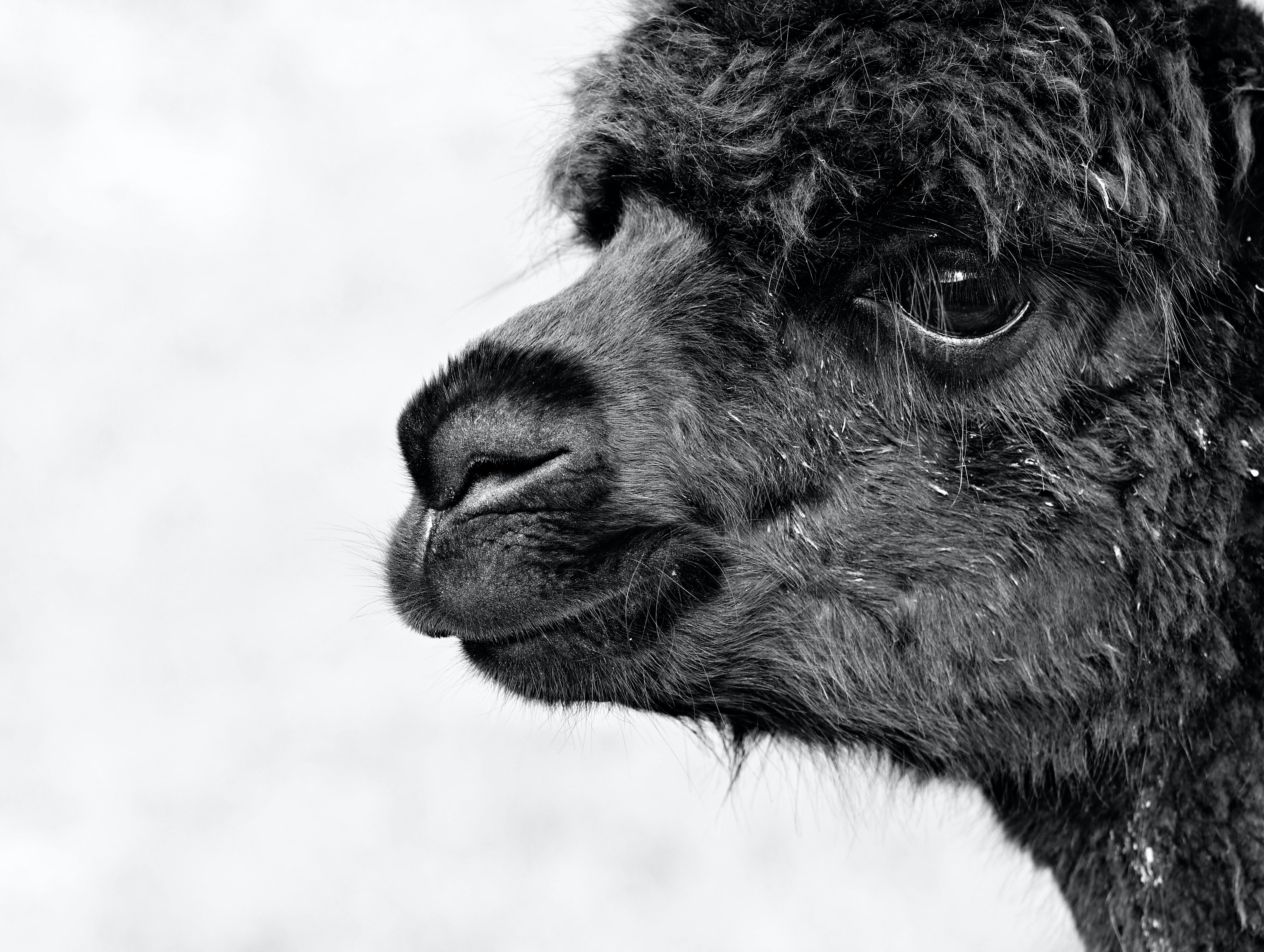 Black-and-white photo of a young black alpaca in profile.