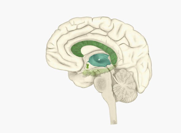 The Structure Function Of Brain Parts In Humans The