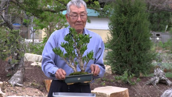 How To Train Your Bonsai Tree Harold Sasaki Would Like To Dispel Some By Jeet Sam Medium
