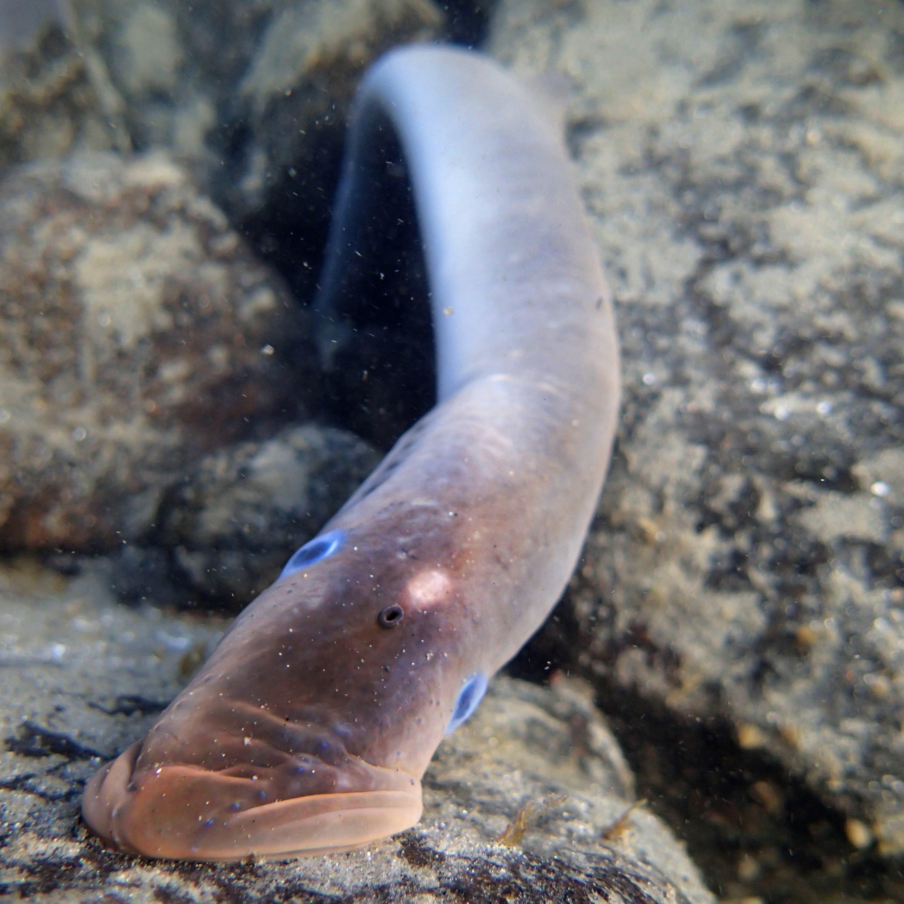Pacific lamprey on a rock