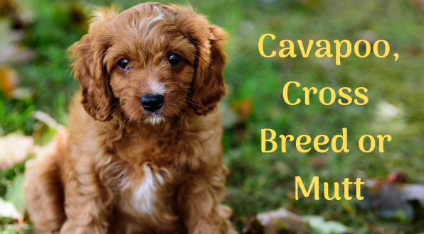 What Is A Cavapoo Pedigreed Dogs Are