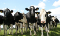 cattle feed suppliers