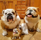An image of two very cute and wrinkly fully grown bulldogs with one bulldog puppy.