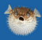 Fully-inflated puffer fish on a blue background