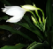 Crinum Janus, White Flowers for night gardens — by Kent Ho