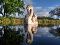 A Mute Swan on still water in a pond under a blue sky; it appears to be looking at its reflection.