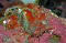 colorful, hatchery raised pinto abalone shell