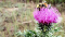 A bee buzzing around a thistle in a field.