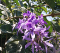 Queen's Wreath/Sandpaper Vine/Petrea Volubilis