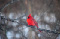 A red cardinal bird sitting on a tree branch.