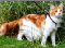 An orange-and-white Maine Coon cat taking a walk on a leash.