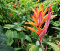 Heliconia Psittacorum — False Bird-of-Paradise flower- orange, red, yellow flowers.