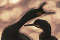 Almost abstract photo of two European Shags in front of large bokeh.