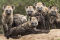 Group of spotted hyena cubs