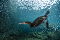 A cormorant swimming in water, surrounded by a school of tiny fish.