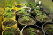 When to transplant marijuana seedlings