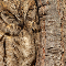 A Eurasian Scops Owl next to a tree trunk, almost blending in due to the patterns on its brown feathers.