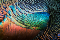 Closeup of the shiny, variegated, rainbow-colored wing feathers of an Ocellated Turkey.