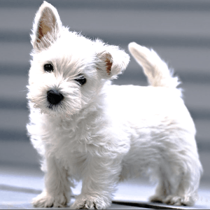 5 Small Dog Breeds That Will Surely Melt Your Heart By Satish Yadav Medium