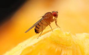 Want to save your mangoes from fruit flies, Hide Them!
