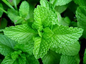 13 Amazing Health Benefits Of Scent Leaf - Nigerian Health
