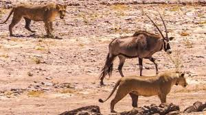 How living things adapt to desert environment in U A E ?