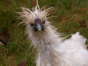 A wet hen — they really do look like an asterisk with a beak, on a stick. They also look angry and startled.