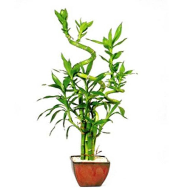 Lucky Bamboo 7 Stalk Curly — Small — (Indoor) - maksud masud
