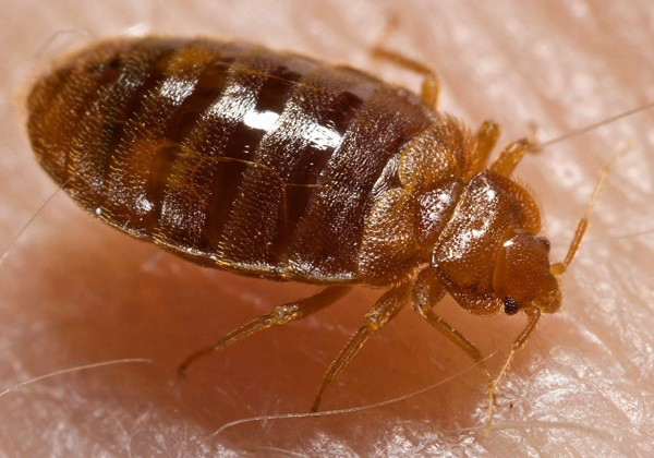 Your Hotel Room Has Bed Bugs Now What By Archaic Inquiries Cultural Resource Management Medium