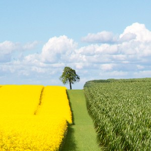 a field of golden plants and a field of green plants separated by a green lane with a tree visible with a blue sky and clouds