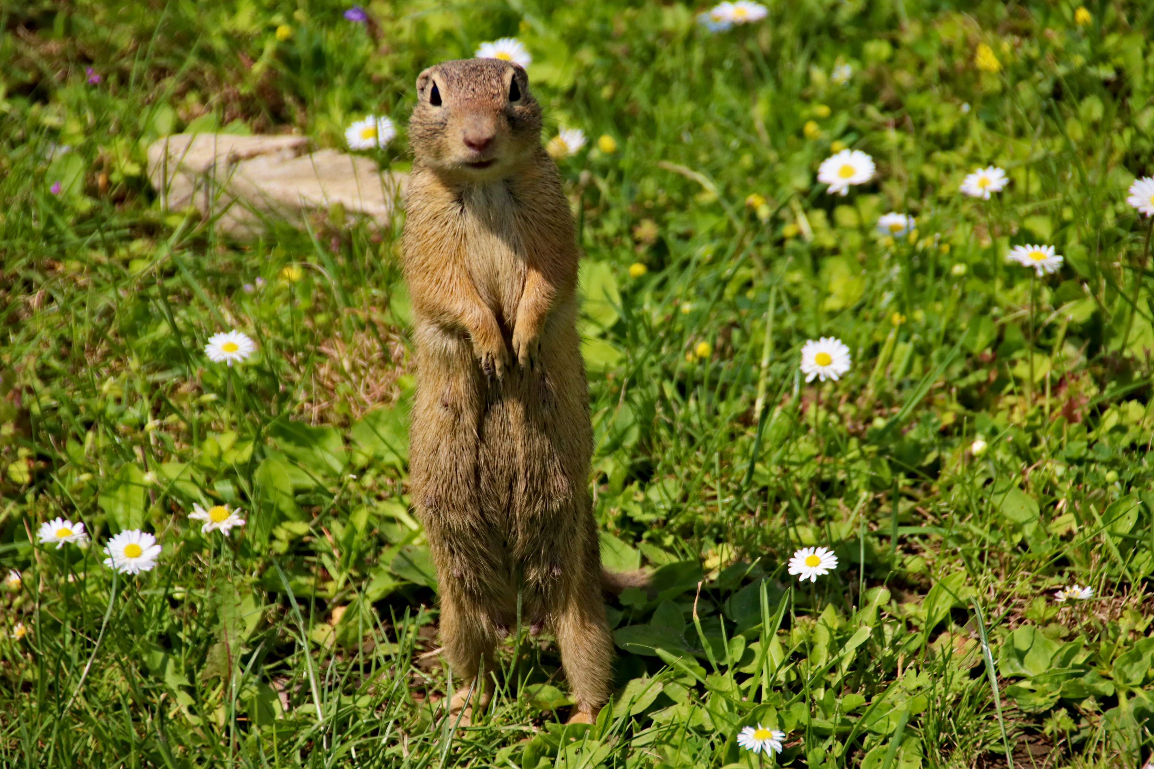 European Ground Squirrel standing up and looking curious in a field of daisies