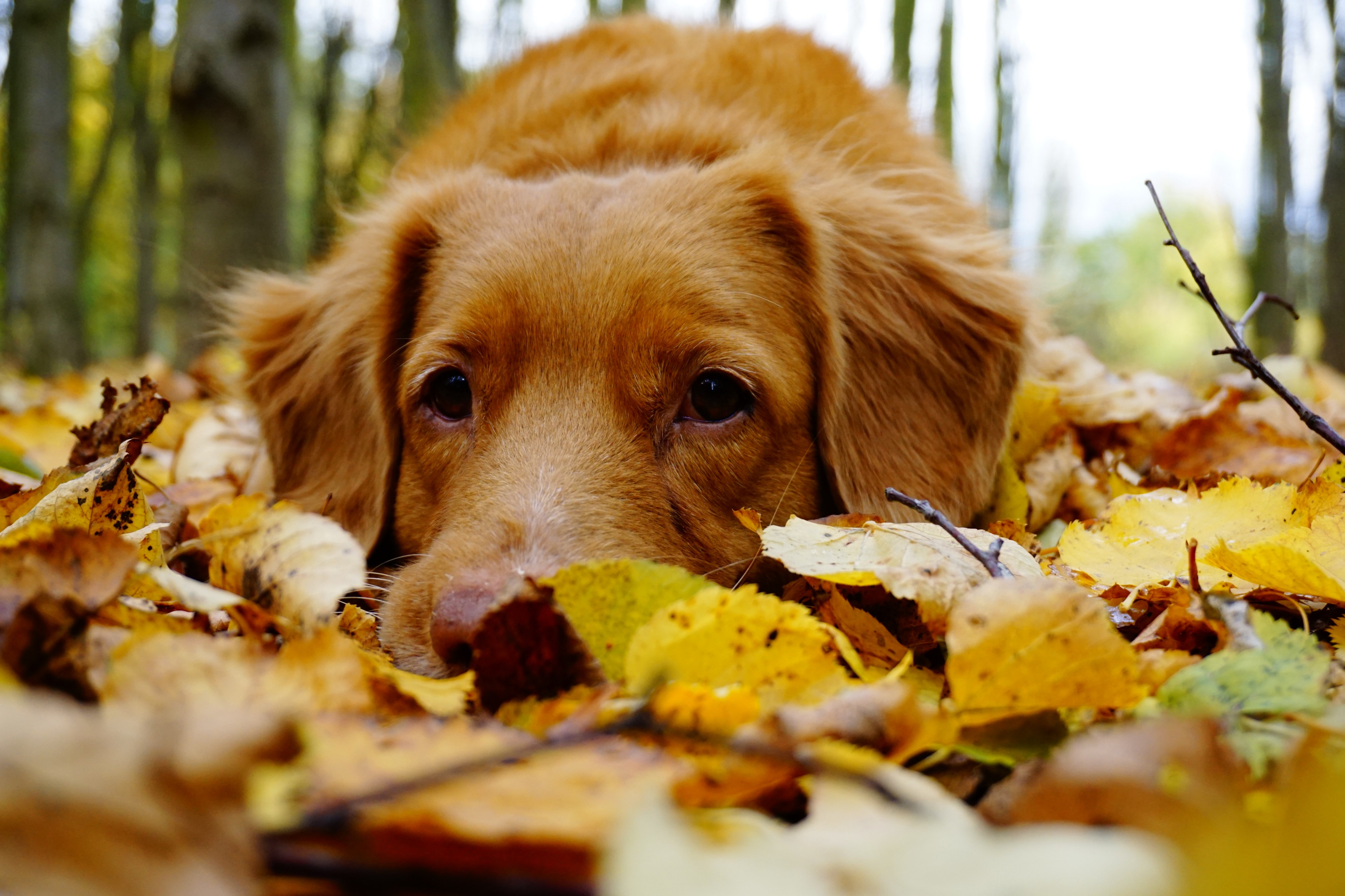 Sad brown eyed dog laying on the colored leaves of fall in the outdoors.