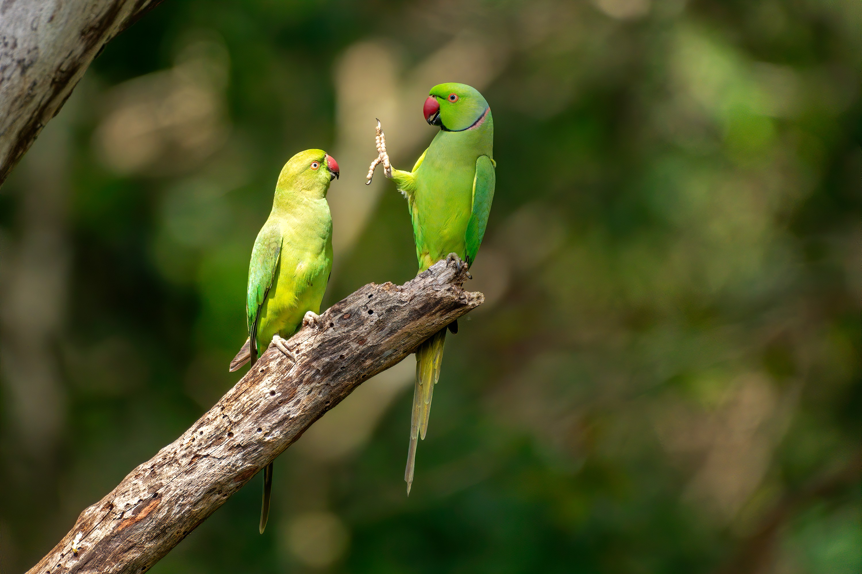 Two green parrots regarding one another on a branch, one has her foot and claw outstretched in the face of the other