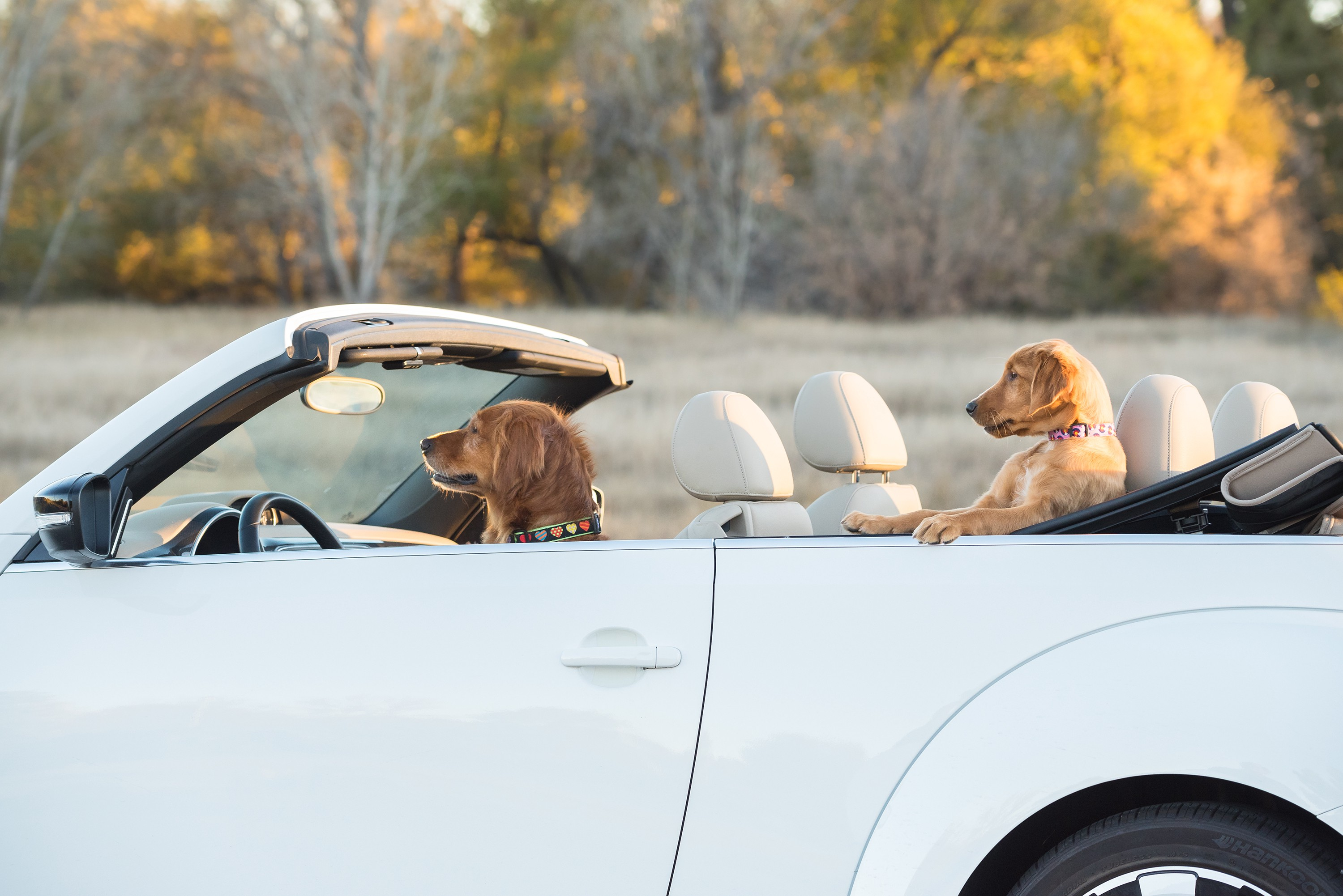 Two dogs are sitting in a white convertible, one in the drivers seat at the wheel and the other chilling in the back