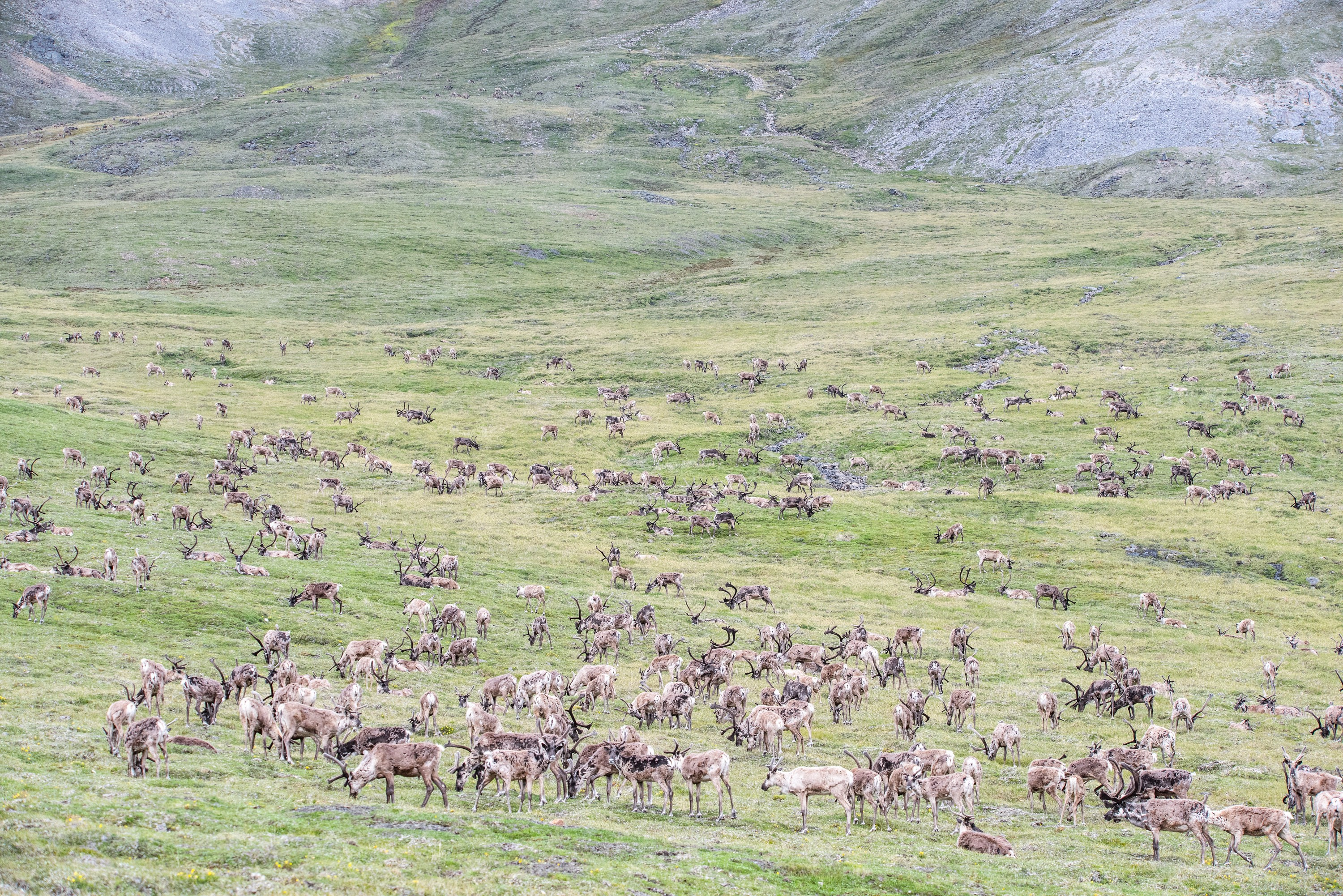A herd of caribou graze on green tundra.